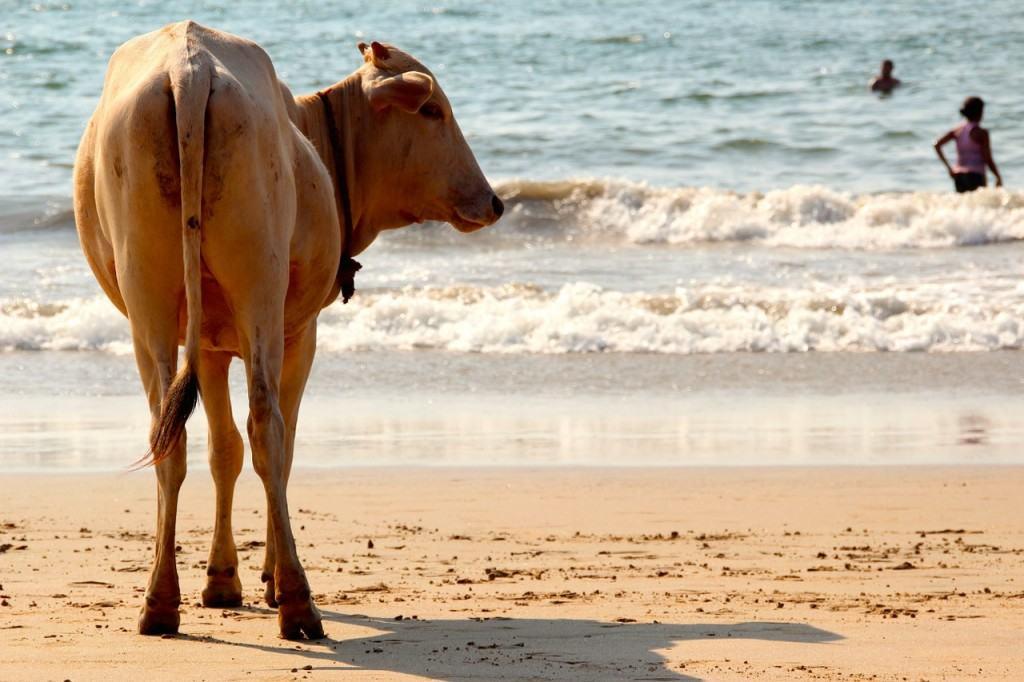 cow-beach-india